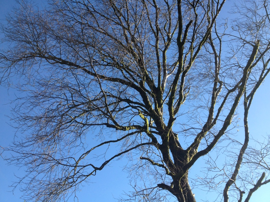 Birch tree in Gurteen Wood, 11-11-'12